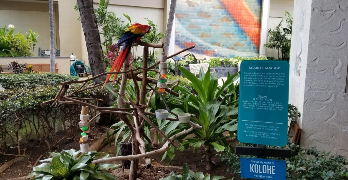 Kolohe the bird at Hilton hawaiian village